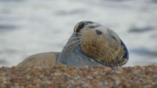 Seal found stuck in plastic waste on Norfolk beach