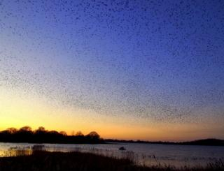 Silhouette of a starling murmuration