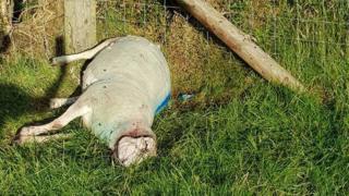 Slain sheep