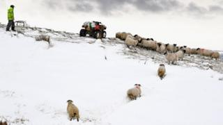 Sheep on a Scottish farm in the aftermath of the Beast from the East last last year