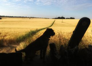 A border terrier admiring golden fields in Shilton