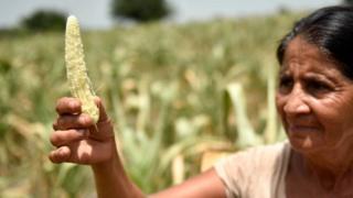 Una agricultora muestra el maíz arruinado por la sequía
