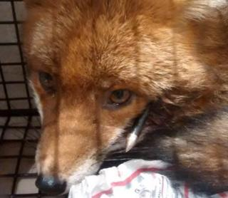 injured fox