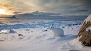 Arctic Hare by Clare Kines