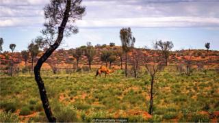 澳州野生駱駝奇譚