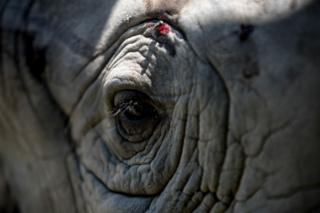 A close shot of a rhino shows its eye which is open, with long eyelashes and many folds in its skin. There is a small cut above the animals eye.