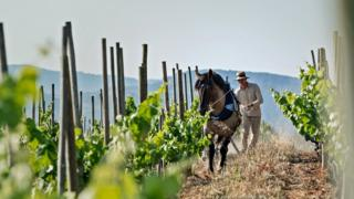 Man and horse in vineyard