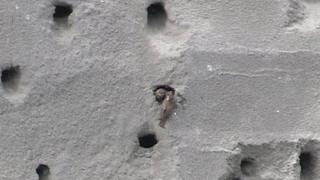 Sand Martin feeding their young at Kilroot ash bank