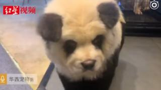 A 'panda' dog in a Chinese pet cafe