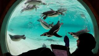 A zoo keeper poses with Humboldt penguins during the annual stock take at the ZSL London Zoo