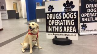 Shetland drugs dogs