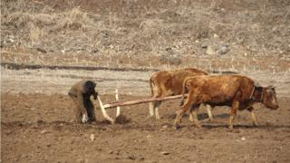 Mt. Paektu, North Korea. April 2013. A man plowing his field to get ready to plant with his two cows using an old wooden plow