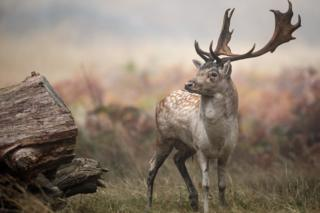 A fallow deer stag stands on a foggy morning in Richmond Park in London