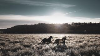 Horses playing in the frosty morning sunrise