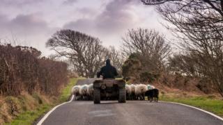 Farmer on quad bike moving sheep