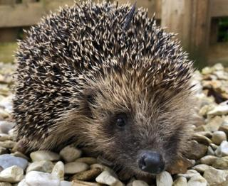 "Marian Coburn found this ""gorgeous"" little hedgehog visiting her garden in Perth this week."