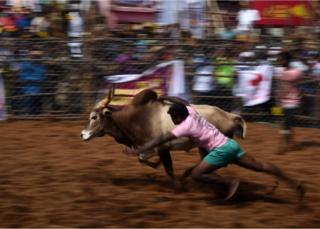 An Indian participant tries to control a bull.