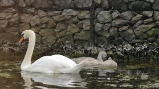 The killer swan, known as 'Mr Nasty', and his two cygnets
