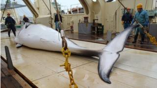 A minke whale on the deck of a whaling ship in the Antarctic Ocean
