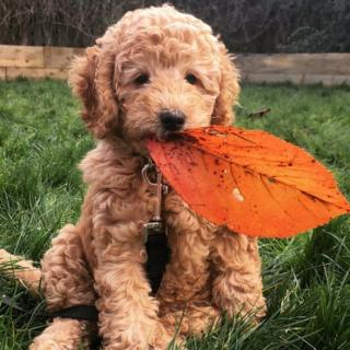 A Cockapoo with an orange leave in her mouth