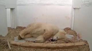Біла ведмедиця Тоня народила ведмежатко 7 грудня