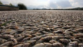 Thousands of dead popoche chub fish in Lake Cajititlan (17/08/2015)