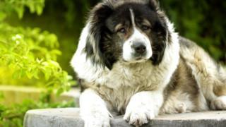 Северокавказская собака