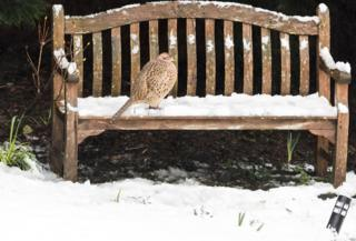 A pheasant on a snow-covered bench