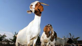 A herd of goats in the US