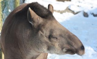 Тапир в зоопарке в городе Эксмур