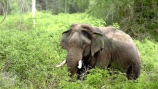 An Asian elephant walks through the undergrowth