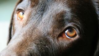 دراسة علمية تؤكد أن الكلاب طورت نظرات عينيها لاجتذاب البشر