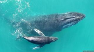ลูกวาฬหลังค่อมว่ายน้ำเคียงคู่กับแม่