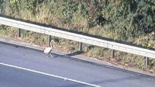 Swan on M1