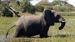 Elephant at the Okavango Delta
