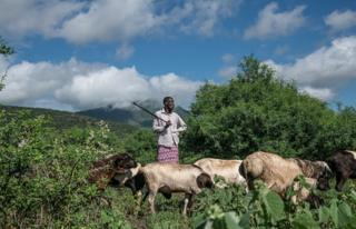 Moses Lomooria guides his goats as they graze