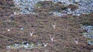 Red deer resting in the heather near Spittal of Glenshee. Taken by Joyce McConnell, from Aberdeenshire