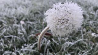 A dandelion in a frosty field
