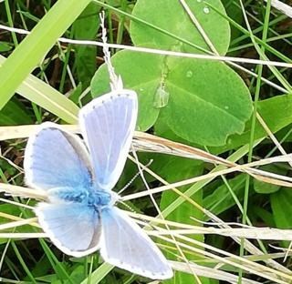 Common Blue at Bo'ness Harbour.