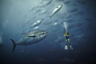 Atlantic bluefin tuna seen off Malta