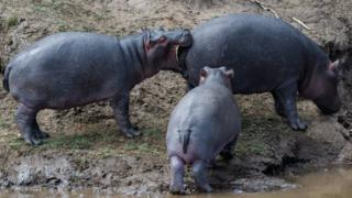 A baby hippo bites a larger mother hippo on her bottom