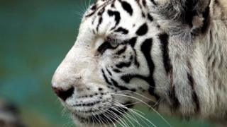 White tiger (file photo)
