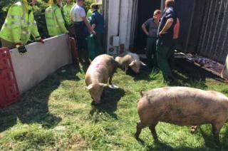 Several pigs being taken out of the overturned lorry
