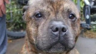 名为Butch 的斯塔福犬