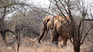 An elephant walks amid dry brush as it searches for food at the Tsavo West National Park in southern Kenya on August 21, 2009.