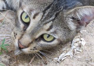 Gato caçando lagarto