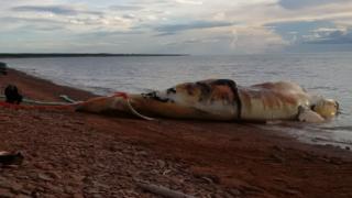Buzul balinası karaya vurmuş