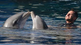 Two common bottlenose dolphins are seen with their keeper pictured in a show at the Madrid Zoo