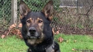 West Midlands Police dog Odin