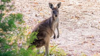 Avon Valley National Park wild Kangaroo in West Australia (stock image)